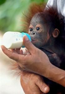 Orangutan4 209x300 LONE DROSCHER NIELSEN: UNA MADRE PER GLI ORANGUTAN