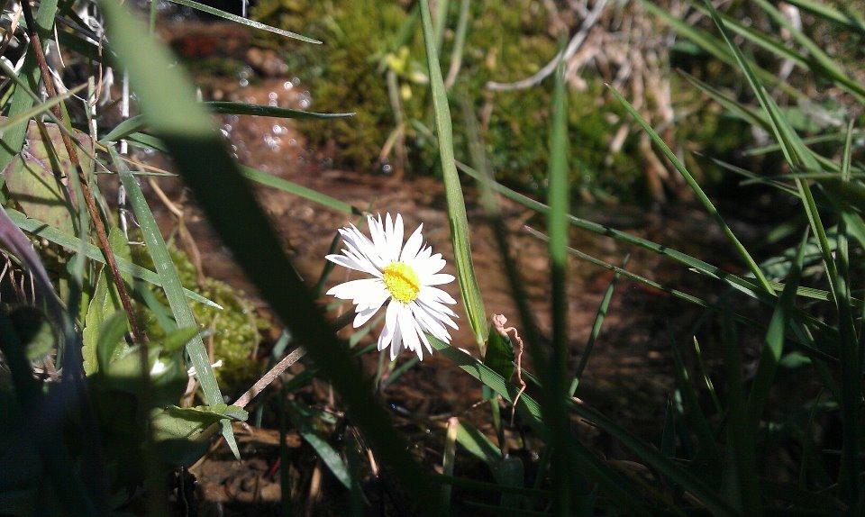 fiore SPERANZA E RINASCITA, LA PRIMAVERA DOPO LINVERNO